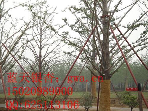 供应银杏树8