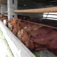 肉牛价格山东波尔山羊养羊场图片