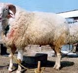 供应小尾寒羊