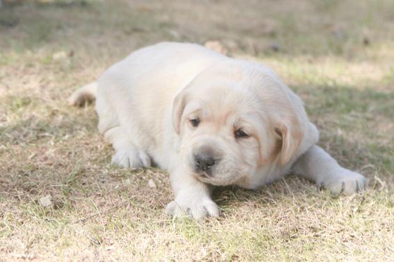 超级可爱的拉布拉多幼犬出售