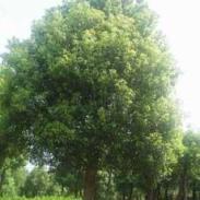 10公分樟树价格图片