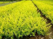 供应优质黄叶树小苗产地在河南,金叶女贞报价图片