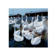 扬州大白鹅价格图片