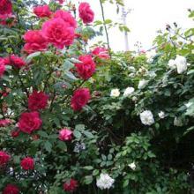 供应蔷薇月季