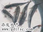 供应优质的大口鲢鱼苗/大口鲢鱼苗厂家图片