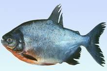 供应广东实力派奥尼罗非鱼苗养殖厂、健康鱼苗来自茂名市长丰水产鱼苗养殖图片