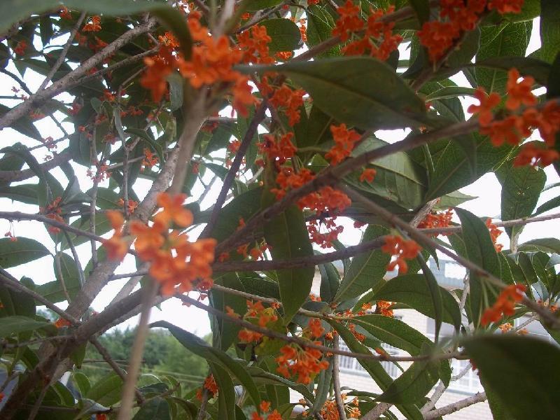 供应红桂花