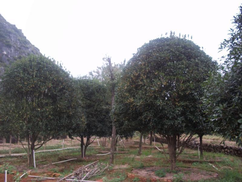供应精品古树移植