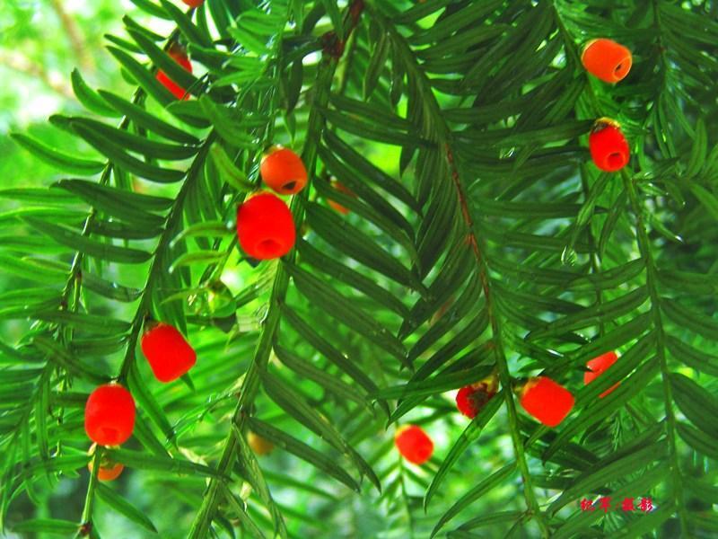 红豆杉树价格 济南红豆杉树价格 红豆杉树市场价格