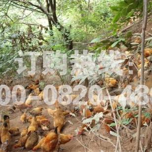 怎样掌握生态养鸡的秘密图片