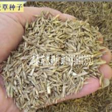 供应黑麦草种子批发