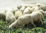 连勋牧业养殖基地供应小尾寒羊养殖批发