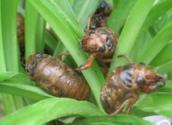 供应蝉蛹蜂蛹竹虫棉蝗东亚飞蝗水蜻蜓14