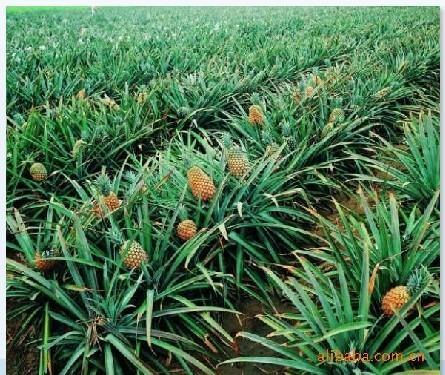 凤梨释迦种植基地 凤梨 空气凤梨 凤梨和菠萝的区别 观赏凤梨 凤梨图片
