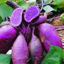 供应黑红薯种子