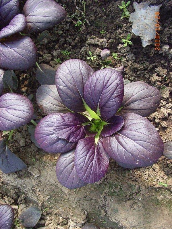 供应紫色油菜种子