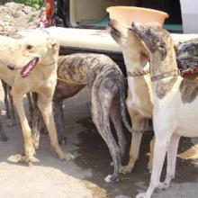 供应纯血统格力犬/澳洲灵缇犬出售批发