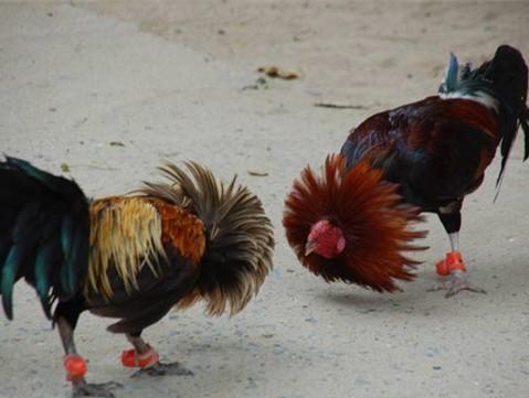 山东省球杆基地养殖场成立于1999年本珍禽开发的斗鸡是曲棍东盛制作图片