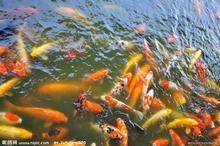 供应北京批发淡水鱼黄金鲫鱼