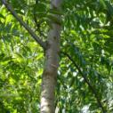 茶椿木苗图片