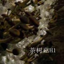 供应茶树菇菌种、茶树菇6号、8号母种、茶树菇一级菌种、茶树菇H1母种