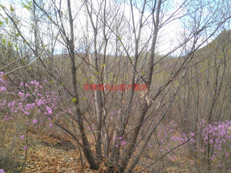 河北蒙古栎种植基地销售