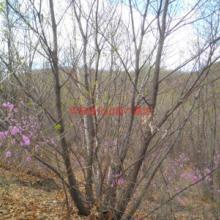 供应唐山蒙古栎苗场,唐山蒙古栎苗木种植基地,蒙古栎栽植技术