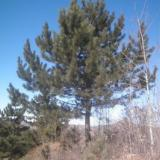 供应石家庄油松种植技术,石家庄油松苗木供应商,石家庄油松苗批发
