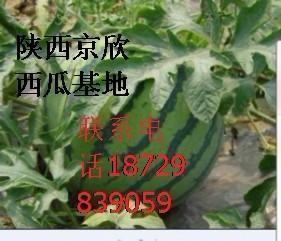 大荔西瓜图片/大荔西瓜样板图 (1)
