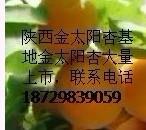 供应陕西金太阳陕西金太阳价格金太阳杏种植基地