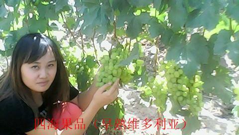 供应红提葡萄生产大县——宾川优质红提 河南红提葡萄生产大县宾川优质红提