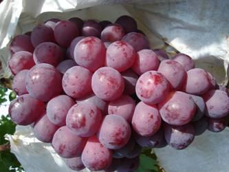 宾川红提葡萄产地红提葡萄的信息 中国优质红提葡萄批发商