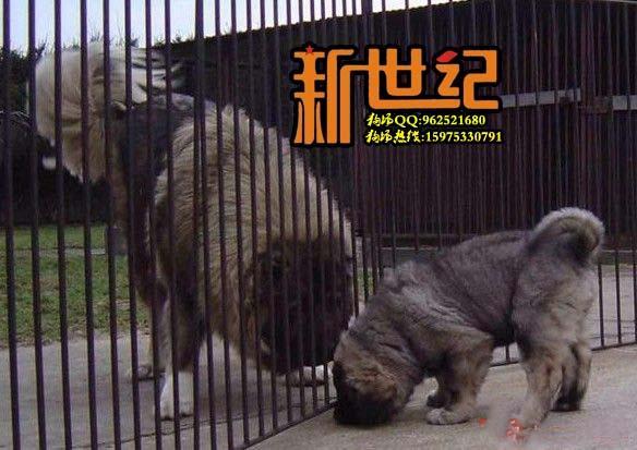 狼国成年网图片 - 中国狼牙特种部队图片 - 成年狼青 ...