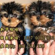 深圳哪里有卖约克夏小狗图片