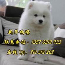 哪种宠物狗长得最好看 广州到哪里买萨摩耶 新华狗场出售图片