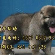 护卫犬高加索巨型犬高加索图片
