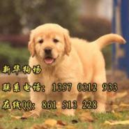 福田哪里有卖狗深圳去哪买金毛图片