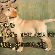 广州黄色拉多哪里有卖图片
