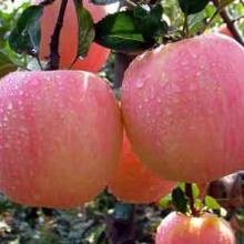 供应纸袋苹果销售山东红星苹果行情供应批发