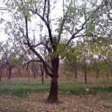 供应内蒙古枣树20公分
