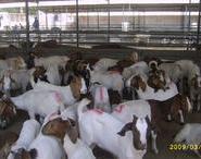 河北复兴波尔山羊肉羊青山羊图片