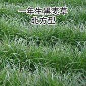 黑麦草种子多年生黑麦草养牛销售