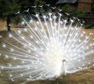 孔雀养殖场供应白孔雀图片