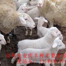 万只优良肉羊山羊绵羊种羊苗纯种小尾寒羊杜泊绵羊波尔山羊白山羊批发