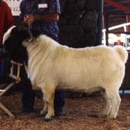 肉羊小尾寒羊图片