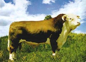 产供应优质海福特牛