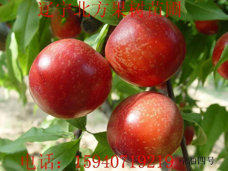 桃树苗供货商 供应山西大棚桃树苗保护地桃