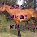 哪里能买到蒙古马山东锦发牛羊图片