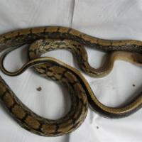 供应黑眉锦蛇 图片 效果图