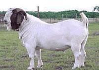 波尔山羊行情图片